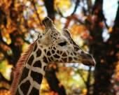 Pretty giraffe — Stock Photo
