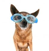 Chihuahua wearing goggles — Stock Photo
