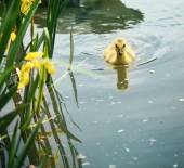 Baby canadian goose in pond — Stock Photo