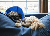 Dog with cone on head after surgery — Stock Photo