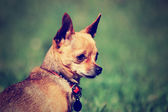 Chihuahua gazing off — Stockfoto