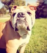 Cute bulldog — Photo