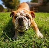 在公园里玩的斗牛犬 — 图库照片