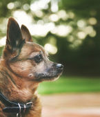 Chihuahua mix senior dog — Stock Photo