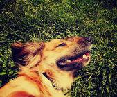 Happy dachshund on fresh grass — Stock Photo