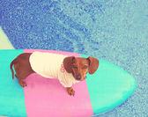 Dachshund on board in pool — Stock Photo