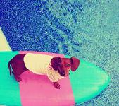 Cute dachshund on board in pool — Stock Photo