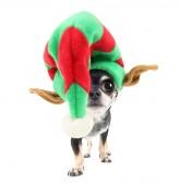 Christmas chihuahua — Stock Photo
