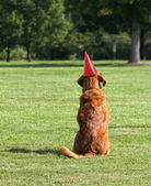 Cute dog in party hat — Stock Photo