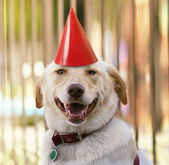 Labrador retriever with party hat on — Stok fotoğraf