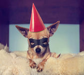 Chihuahua on blanket with mask on — Stockfoto