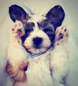 щенок спал на коленях — Стоковое фото