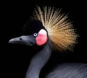 Crowned crane — Zdjęcie stockowe
