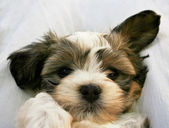 Cute little mixed breed puppy — Stockfoto