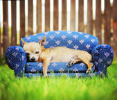 Chihuahua napping on couch — Stock Photo