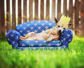 Chihuahua with crown napping on couch — Stock Photo