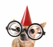 Chihuahua with glasses and birthday hat — Stock Photo