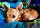 Chihuahua's face — Stockfoto