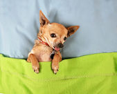 Cute chihuahua on bed — Foto Stock