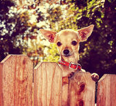Chihuahua looking over fence — Stock Photo