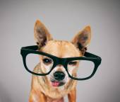 Porter lunettes de chihuahua mix — Photo