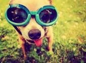 Chihuahua wearing goggles in grass — Stock Photo