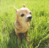 Cute chihuahua sitting in grass — Stock Photo