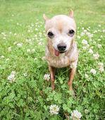 Chihuahua with tongue out — Zdjęcie stockowe