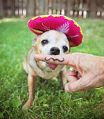 Chihuahua with sombrero hat — Stock Photo
