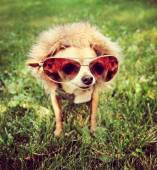Chihuahua with aviator sunglasses — Stock Photo
