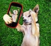 Süße chihuahua nehmen selfie — Stockfoto