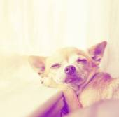 Chihuahua laying on window sill — Stock Photo