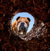 Dog peeking into dirt hole — Stock Photo
