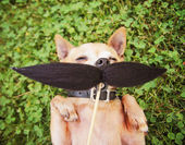 Chihuahua with mustache — Stock Photo
