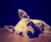 Chihuahua on wooden floor — Foto Stock