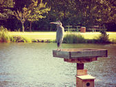 Heron in local park pond — Stock Photo