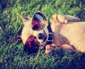 Chihuahua ile havacı güneş gözlüğü — Stok fotoğraf