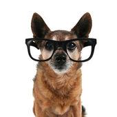 Chihuahua w okularach na — Foto de Stock