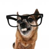 Chihuahua with glasses on — Foto Stock