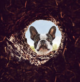 Dog peeking into dirt hole in ground — Stock Photo