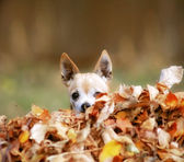 Chihuahua in pile of leaves — Stockfoto