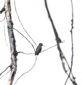 Tiny hummingbird on small branch — Stock Photo
