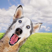 Husky in park — Stock Photo