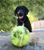 Lab looking at tennis ball — Stock Photo