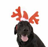 Dogs dressed up in reindeer antlers — Stock Photo