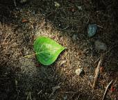 Single fallen leaf on ground — Stock Photo