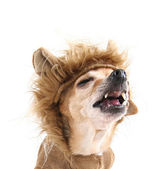 Cute chihuahua in lion costume — Stock Photo