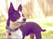 Cute chihuahua enjoying outdoors — Stock fotografie