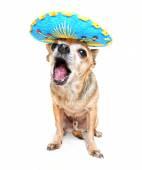 Chihuahua in halloween costume — Stock Photo