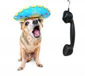 Chihuahua talking on phone — Stock Photo